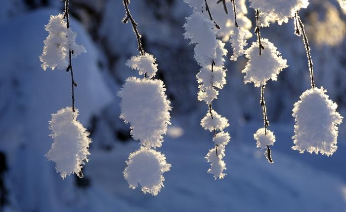 arbol laponia nieve